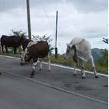 koeiensmall